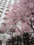 ベランダ間近に桜