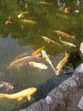 人懐こい鯉