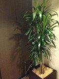 廊下ロビーに観葉植物です。