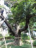 椿山荘庭園にある御神木です。