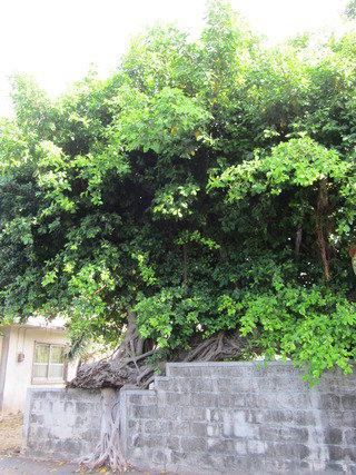 近くに樹齢200~300年と言われるガジュマルの巨木があります。