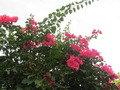 きれいなブーゲンビリアが咲いていました。