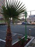 駐車場の椰子の木