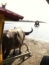 水牛からみた景色