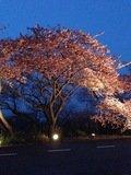 素晴らしい寒桜