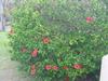 沖縄と言えばこの花「ハイビスカス」