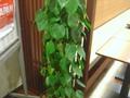 大きな観葉植物も