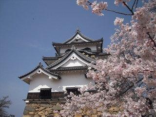 彦根城の桜はとても綺麗です