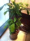 パソコン横の観葉植物