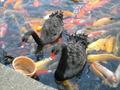 黒鳥と鯉のハーモニー