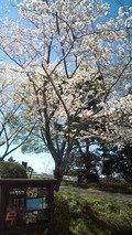 千石の郷入口の桜