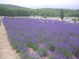 富良野『ファーム富田』の『倖の畑』