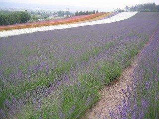 ファーム富田を代表する畑『彩りの畑』 どこから見ても美しい。