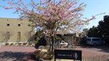 源泉と離れのお宿月の正面のさくらの木