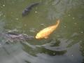 餌に群がる鯉☆
