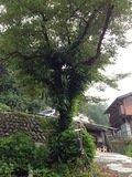 宿正面の大きな木