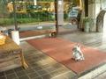 朝食の催促?玄関前で待つ猫たち