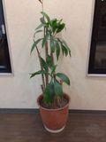おしゃれな観葉植物になります!