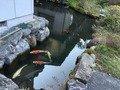 外ノ池には鯉